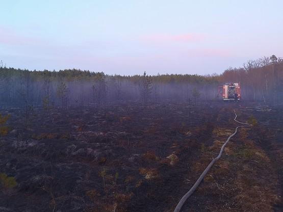 Sosnowy młodnik zniszczony przez ogień
